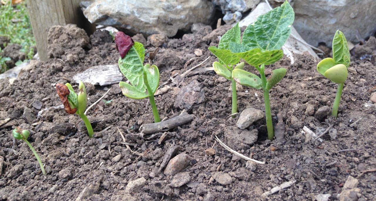 bean seedlings-1
